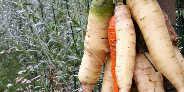 Welke kleur hebben jouw wortels?